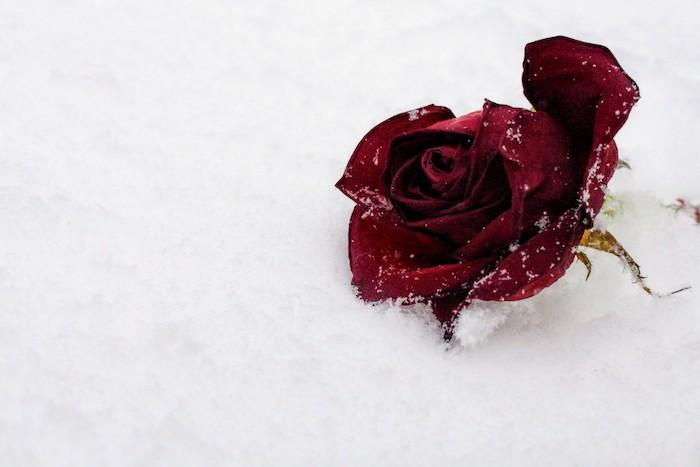 Superbe fond d'écran jardin fond d'écran couleur rose fleurs rose rouge sur la neige