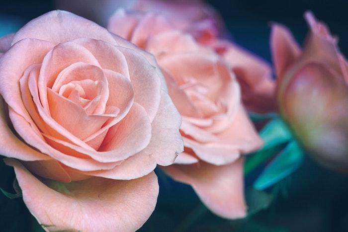 Adorable image de fleur fond d'écran fleur fond d'écran roses roses