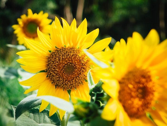 Cool idée printemps fond image de fleur fond ecran fleur tournesol fond d'écran été