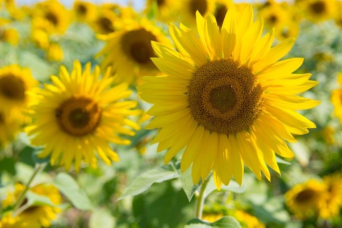 Photo bouquet de fleurs fond d'écran tournesols sur le champ paysage fleur fond d'écran