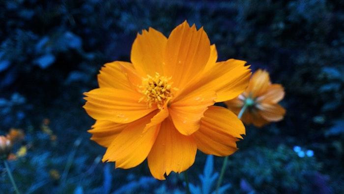 Des images des fleurs fond ecran fleur fond d'écran jolie fleur orange fond bleu fond d'écran parfait