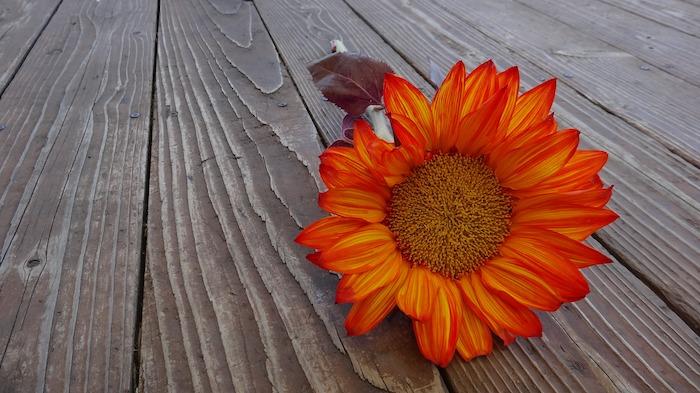 Excellence fleurs image de fleur fond d'écran plancher en bois fleur tournesol orange