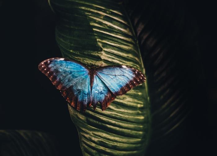 les plus beau fond d écran, photo de papillon aux ailes bleu turquoise avec contours marron à pois blancs sur une feuille verte