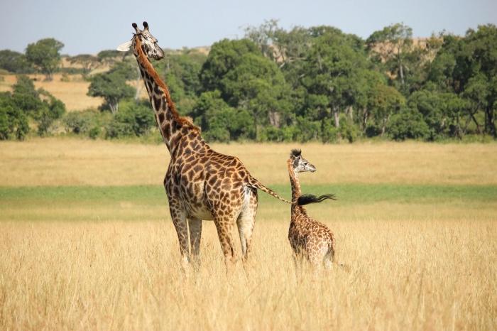 bébé girafe et sa mère en promenade dans la nature, fond ecran paysage vert et jaune avec animaux exotiques
