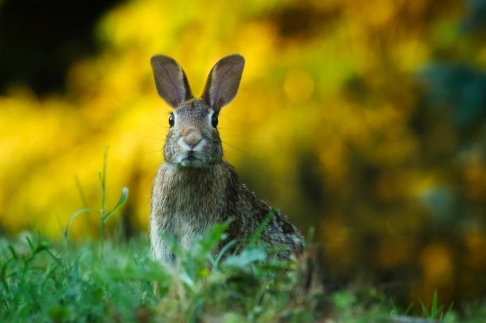 fond d écran hd avec animal et nature, lièvre aux oreilles longues sur un gazon vert et avec un fond de feuillage jaune