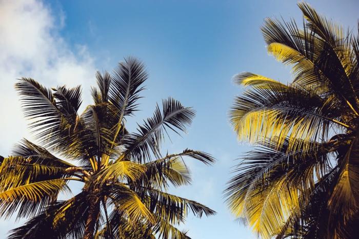 palmes sur le fond du ciel bleu serein sans nuages, cocotiers, vacances, ambiance de rêve, fond ecran paysage, paysage paradisiaque
