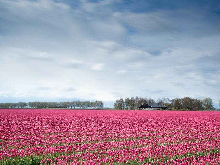 photo de la nature avec champs verts à tulipes rose et une forêt d'arbres vertes sous le ciel bleu aux nuages blanches