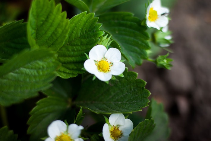 Narcisse fond d'écran jolie fond ecran fleur printemps fraises fleuries