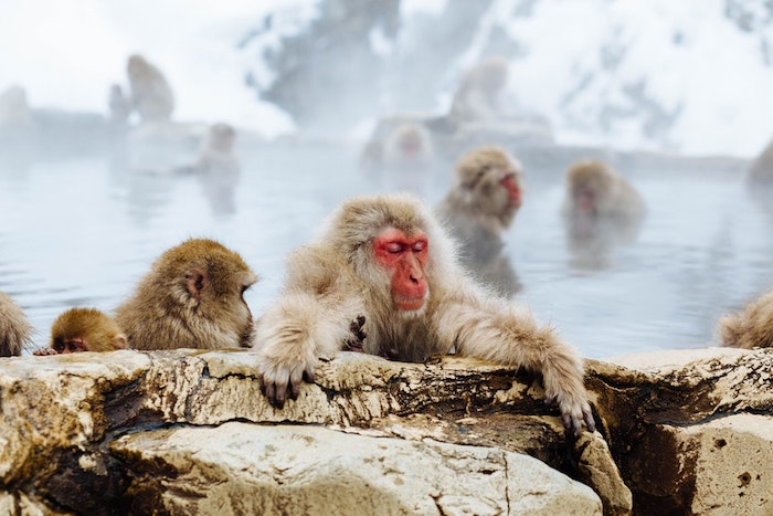 Fond ecran humour image arrière plan fond d'écran humoristique singes au japon dans eau thermale