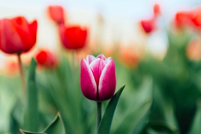 Printemps image pour fond d'écran jolie photo bouquet de fleurs tulipes dans le champ