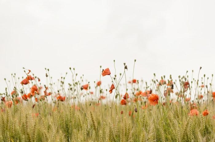 Photo bouquet de fleurs fond d'écran violet image pavot