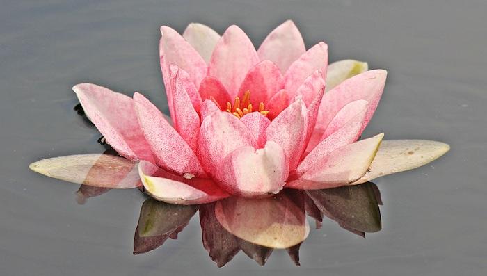 Quel fond d'écran rose fleur fond d'écran fleurs de printemps lily