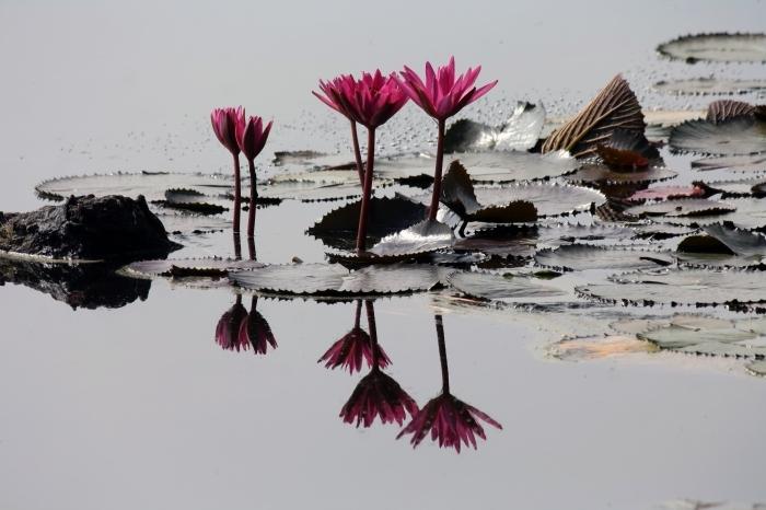 photo de la flore dans un lac, fond d écran magnifique d'un étang avec plantes roses, wallpaper pour ordinateur