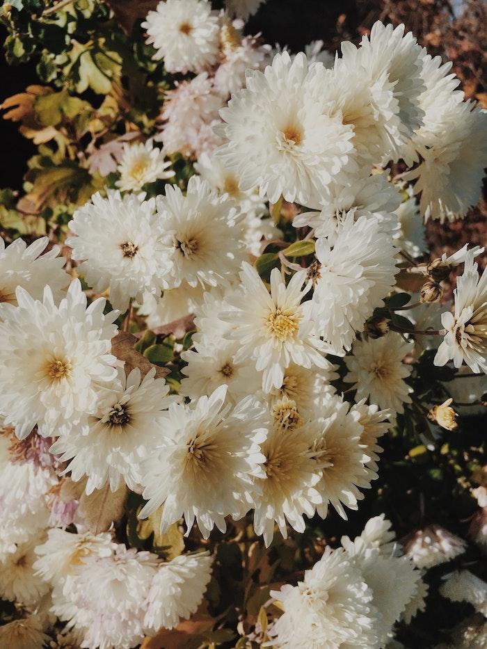 Superbe fond d'écran jardin fond d'écran couleur rose fleurs chrysanthème blanche