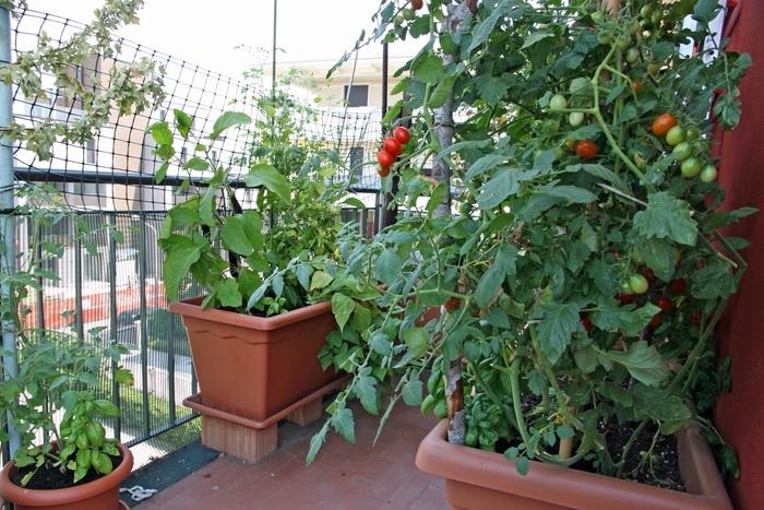 cultivation de variétés de tomates dans jardinières ou potager surélevé sur le balcon, aménagement terrasse avec plantes comestibles