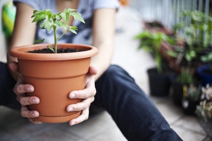 cultivation de légumes et de plantes aromatiques dans pots sur la terrasse ou balcon, semer tomates dans un pot avec terreau spécial pour légumes