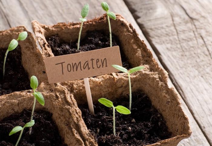 comment semer et cultiver tomates sur le balcon en utilisant de terreau spécial, préparation pour cultivation légumes sur balcon
