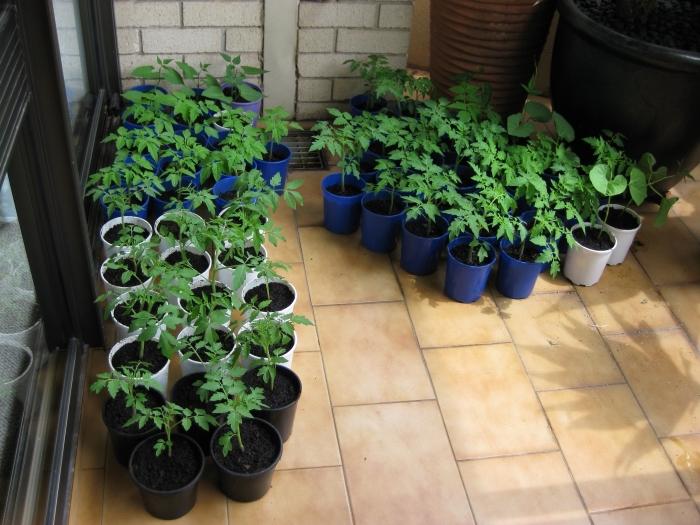 transformation de terrasse en mini potager, préparation pour cultivation de tomates sur le balcon avec semis