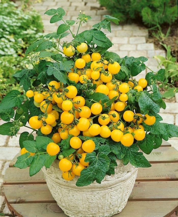 variétés de mini tomates cerises à cultiver dans pots sur un balcon ou terrasse, faire mini jardin urbain dans appartement