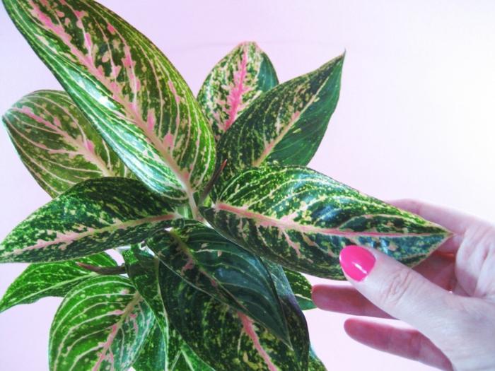 plante salle de bain sans lumière, aglaonema en vert et rouge, plante déco aux couleurs vives, ambiance zen