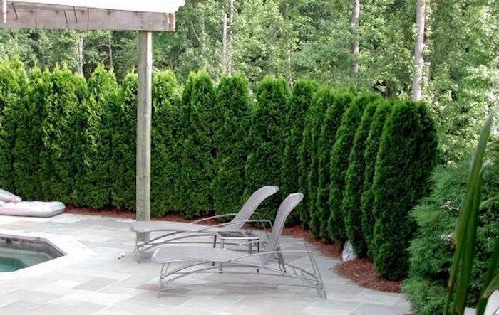 rangée de sapins comme pare vue jardin et piscine occultant et végétal