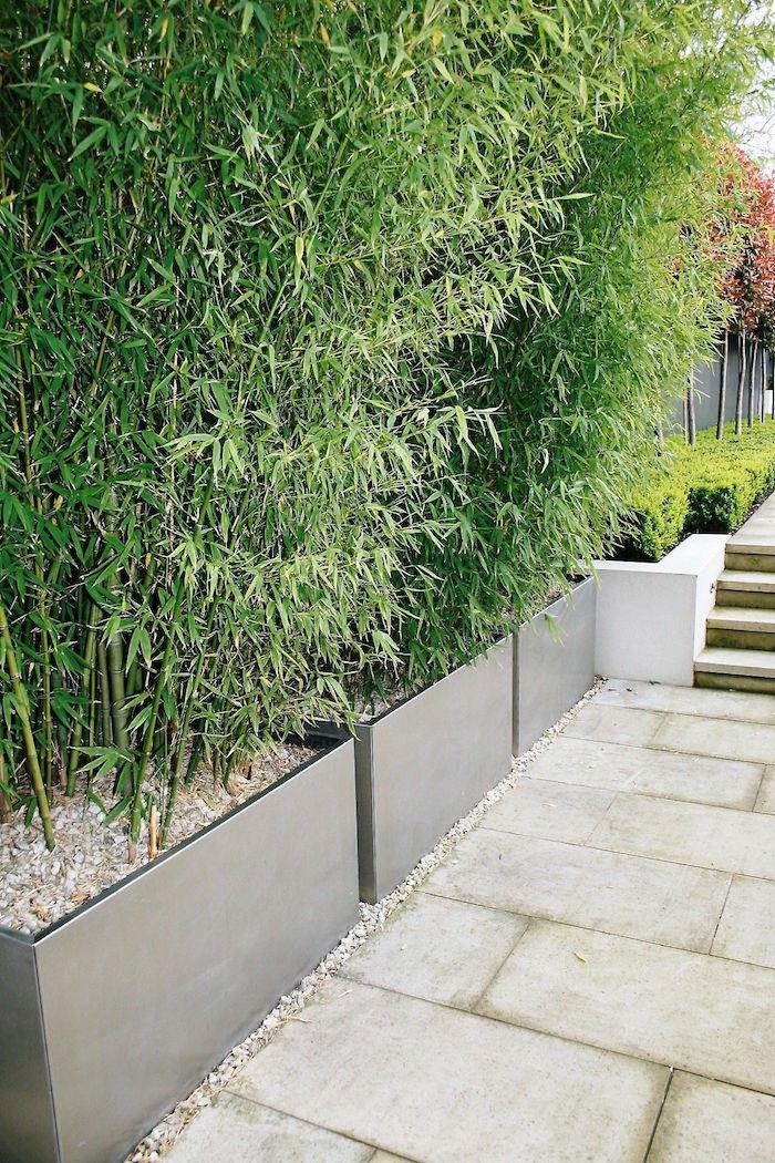 plantation de bambous touffus et occultant dans jardinieres modernes grises