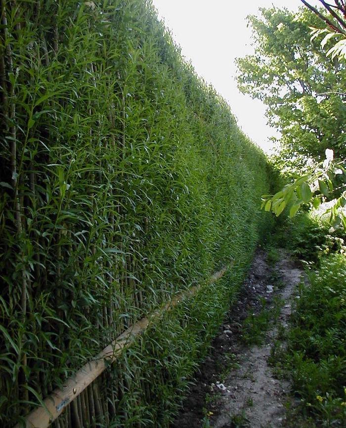 brise vue occultation totale naturelle et végétale faite de hautes tiges de bambous