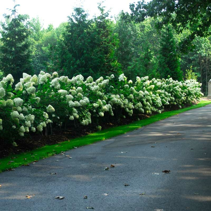 espèces de plantes pour haies et bordures, hortenzias fleuries blanches