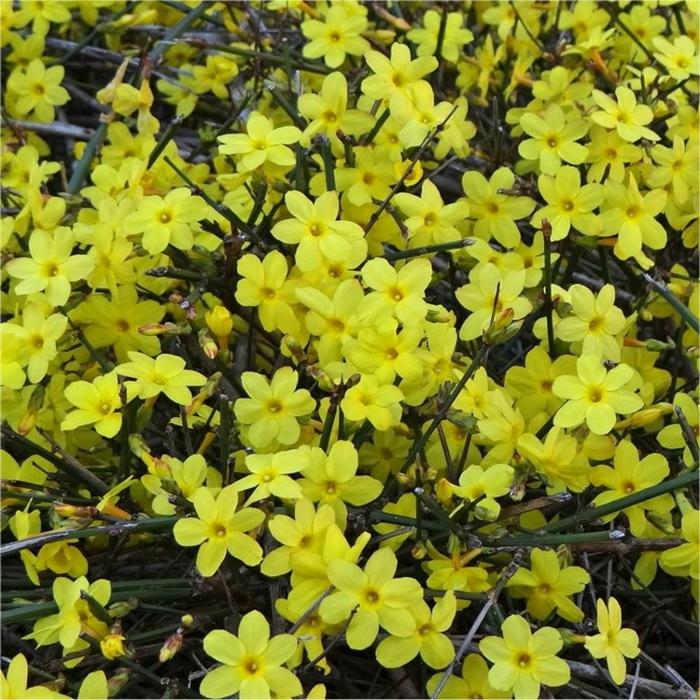 floraison précoce du Jasminum Nudiflorum, plante à fleurs très parfumées