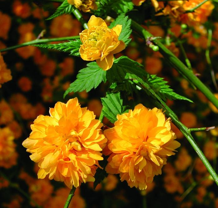 jolie kerria japonica, comment cultiver le corête du Japon, un arbuste à tiges grâcieuses