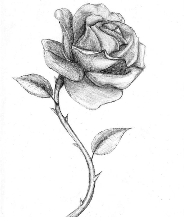 croquis de rose au crayon ouverte avec épines et feuilles, exemple comment dessiner une rose réaliste avec ombre et lumière