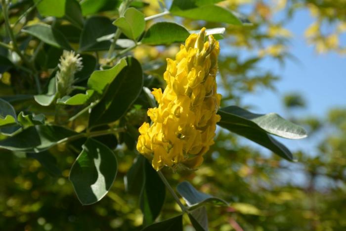 plante qui fleurit en panicules, arbustes et arbrisseaux pour haies fleuries et jardins