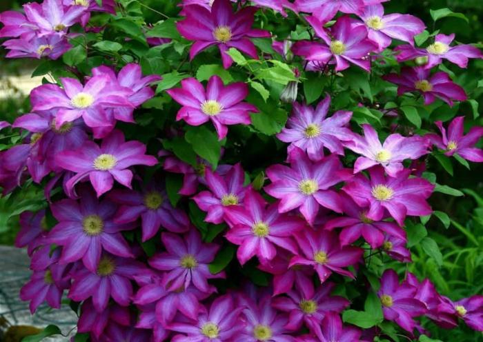 clematis, plante pour décoration du jardin, fleurs lilas subtiles et feuillage vert vif