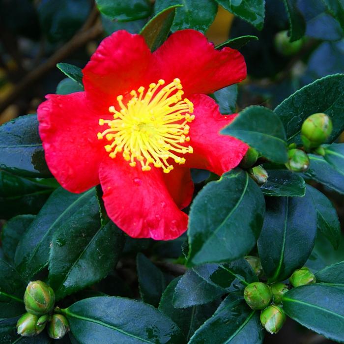 camellia rouge, feuilles vertes et charnues, arbuste de haie à plusieurs espèces