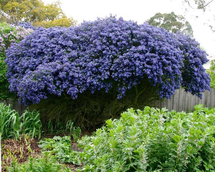 ceanothe ou gloire de versailles, arbuste tapissant pour haie de jardin ou massif