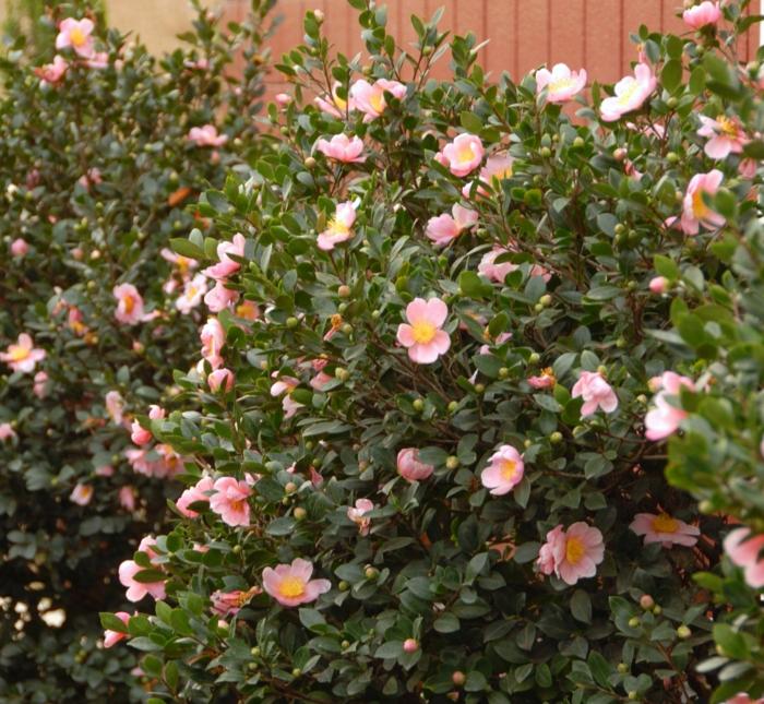 arbuste a fleur rose pour votre jardin, arbustes et plantes convenables pour une haie fleurie