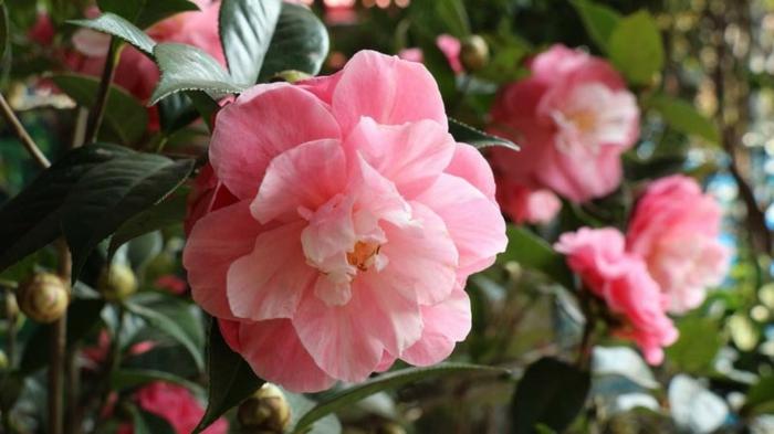 arbuste a fleur camellia fleurie en rose, fleur avec des feuilles charnues