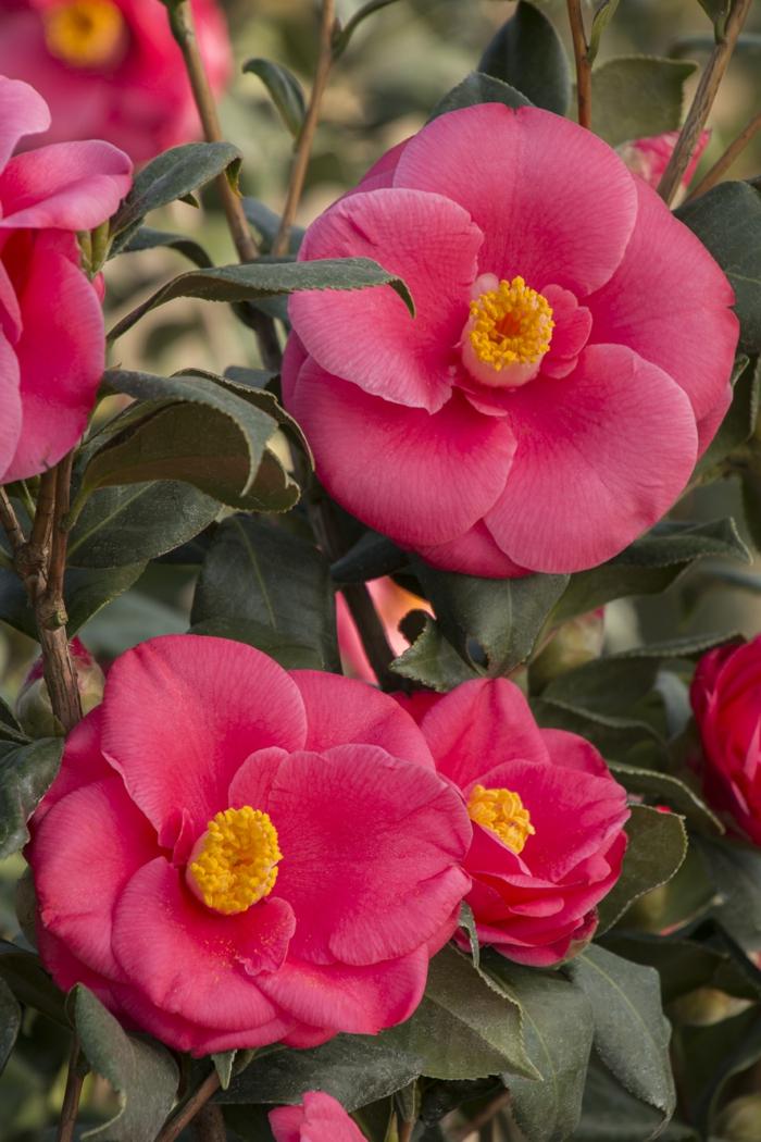 camélia rose fleurie, haie de jardin avec arbustes magnifiques, camellia japonica rose