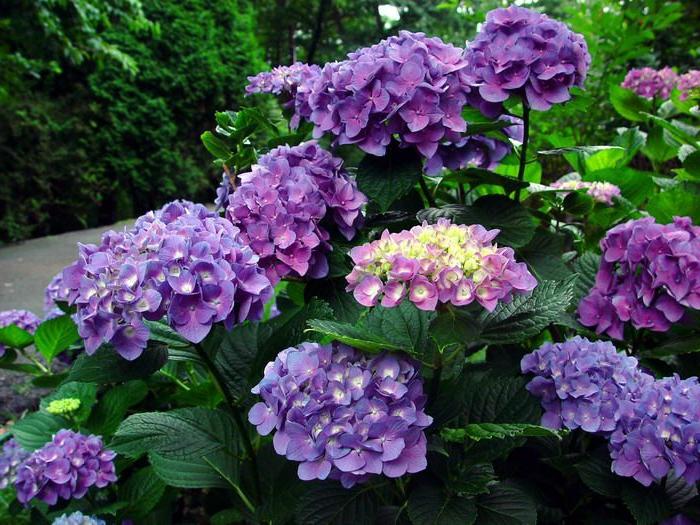 hortenzia, un arbuste qui change ses couleurs selon le sol, plante ombrageante pour le jardin