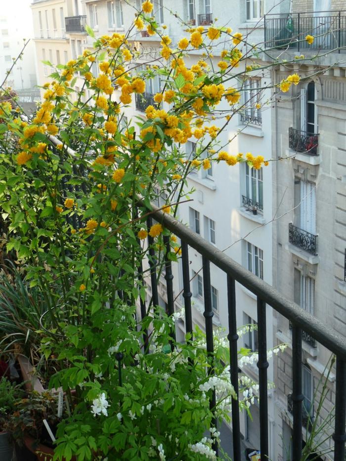 arbuste à cultiver dans le jardin ou sur le balcon, corête du japon, une plante décorative