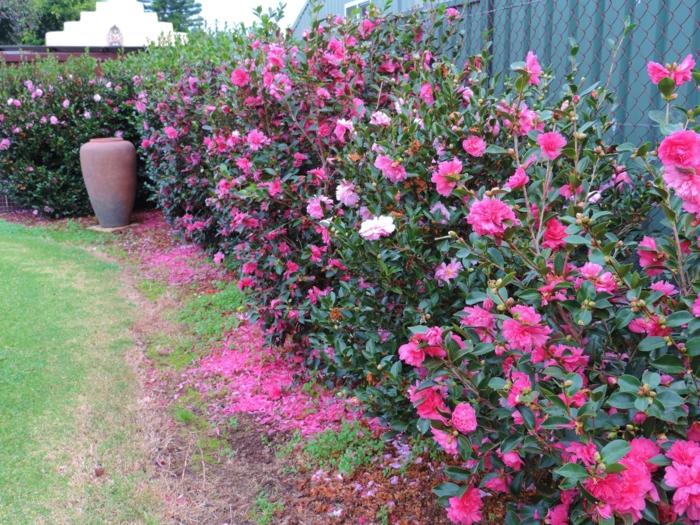 arbuste pour haie avec des roses, haie vive avec arbuste a fleur, roses plantées près de la clôture
