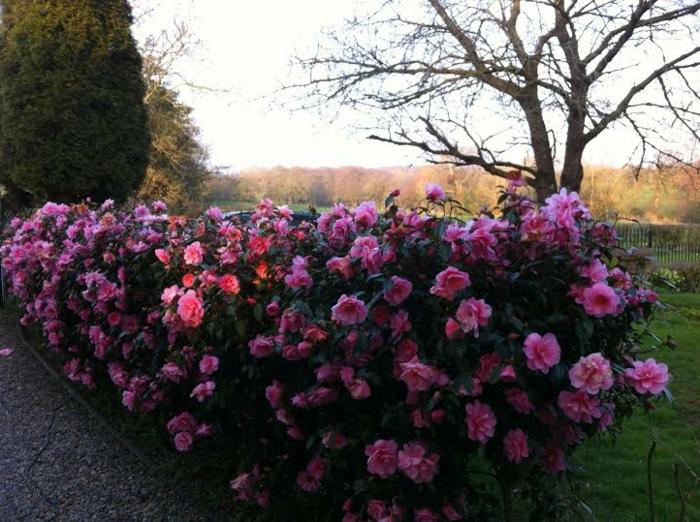 une haie fleurie classique avec camellias, arbustes pour bordures décoratives