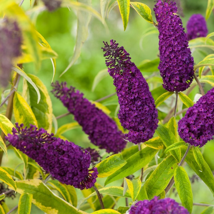 arbuste ornemental buddleja davidii, un arbuste ornemental qui attire les papillons