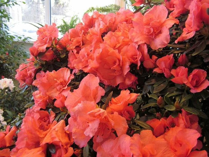 azalée rouge, buisson à floraison jolie et généreuse de la famille du rhododendron
