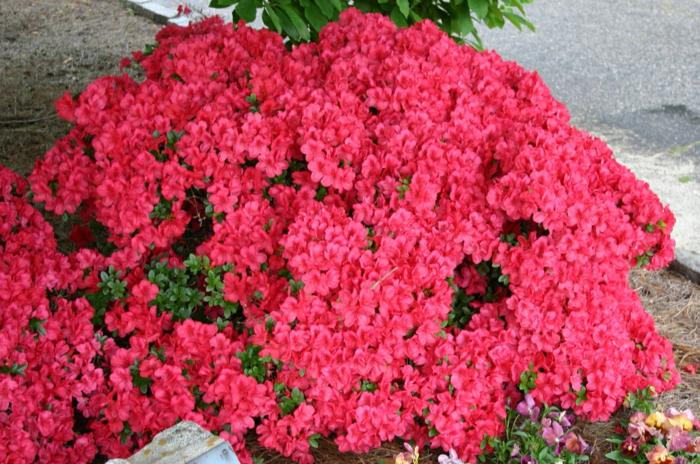 azalée rose, arbuste de la famille des rhododendrons, arbuste fleur rose pour le jardin
