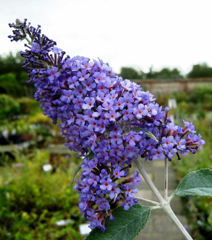 arbuste buddleja davidii fleuri en violet, floraison en grandes panicules