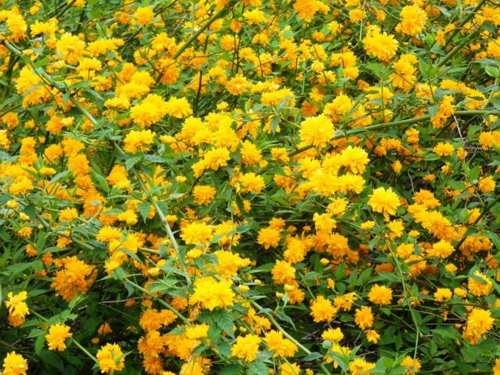 le corrête du Japon fleuri en jaune d'or, arbuste comprenant une seule espèce