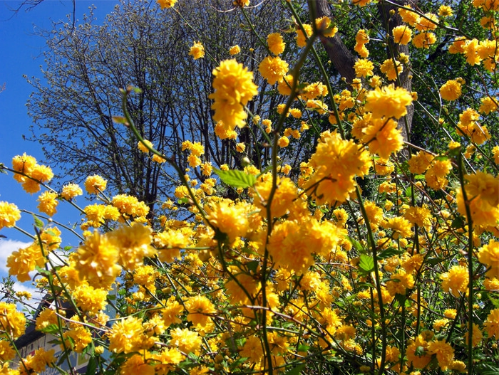 la rose du japon, arbuste pour haie caduc à tiges toujours vertes, un cadre de joli jardin