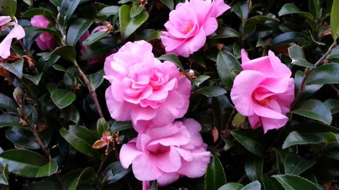 camellia rose superbe, arbuste avec plusieurs espèces, plante qui préfère les températures modérées