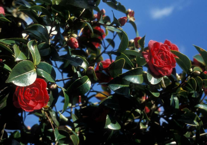 une fleur à l'origine d'Asie au feuillage persistant, aux fleurs magnifiques en couleurs diverses